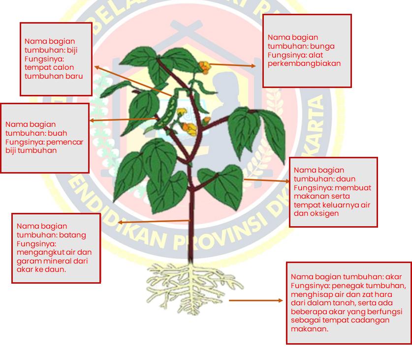 Gambarlah tumbuhan di buku tulis atau buku gambarmu, setelah itu lengkapilah dengan memberikan keterangan bagian tumbuhan beserta fungsinya! Gambarlah dengan rapih dan menarik!